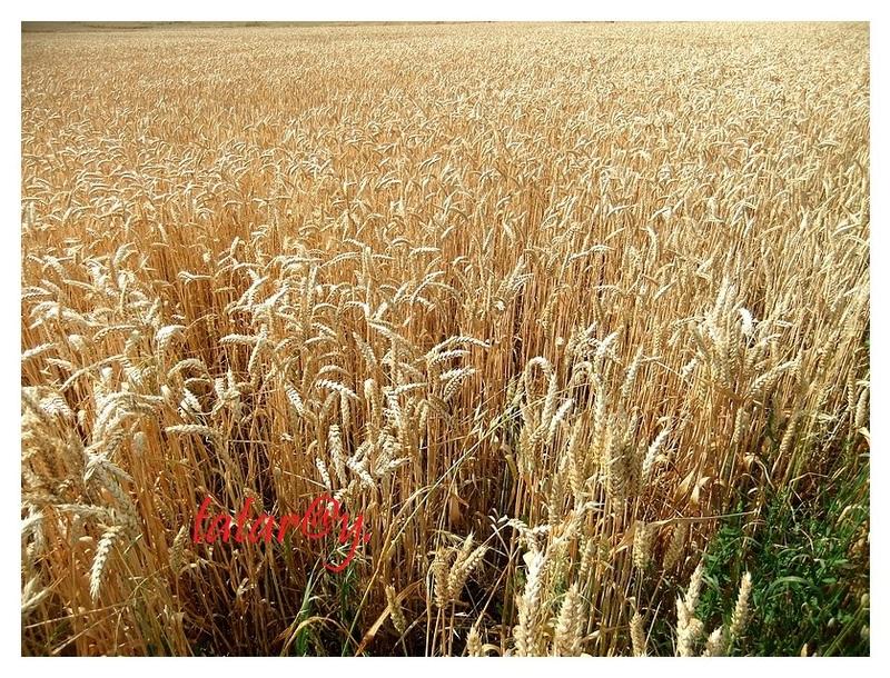 La saison des blés !.....