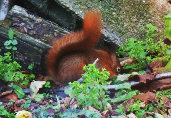 Ecureuils de mon jardin