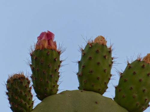 de superbes cactus en fleurs