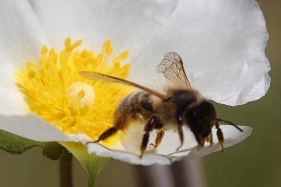 abeille ciste e