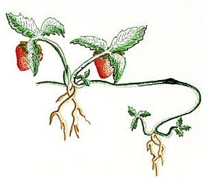 stolon-fraisier.jpg