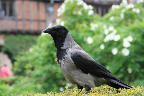 Corneille Mantelée (Hooded Crow)