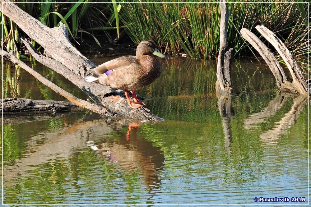 Réserve ornitho du Teich - Mi juillet 2015 - 3/7