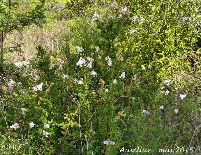Ligustrum vulgare  -  troène