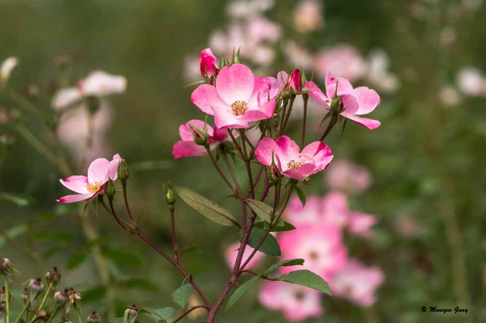 Dimanche fleuri: le rose à l'honneur
