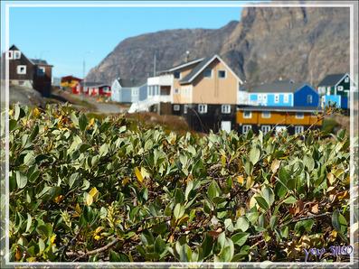 """Les arbres se limitent à des arbres nains, ici des saules, possible  """"Salix repens"""", le Saule rampant - Sisimiut - Groenland"""