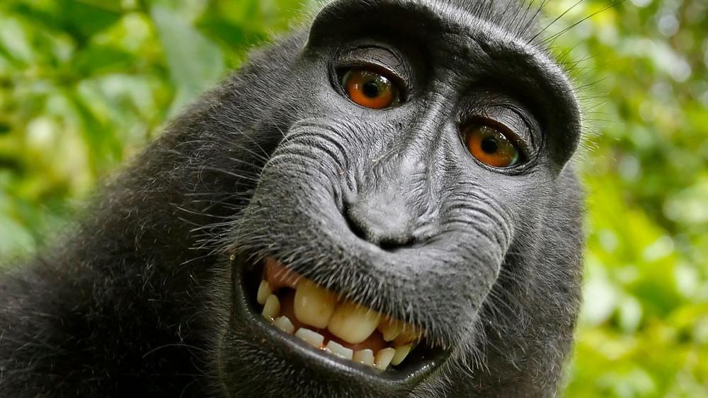 Qui est propriétaire des auto-portraits réalisés par un singe ?