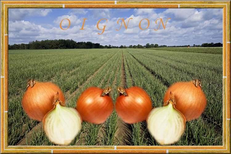 Vertus Médicinales des légumes et des fruits : OIGNON