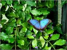 Papillons Tropicaux Morpho helenor peleides Nymphalidae