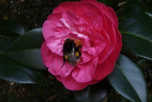 3---Bourdon-sur-camellia---12-02-08.jpg