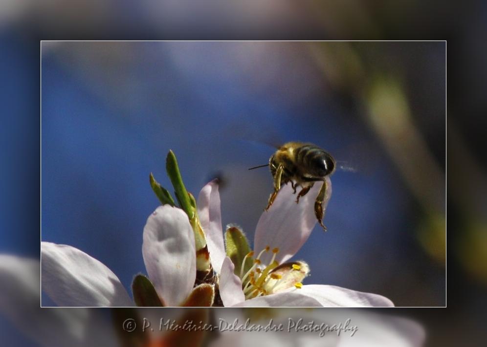 Une abeille bien occupée...