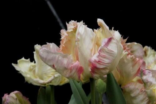 Tulipes Apricot Parrot4