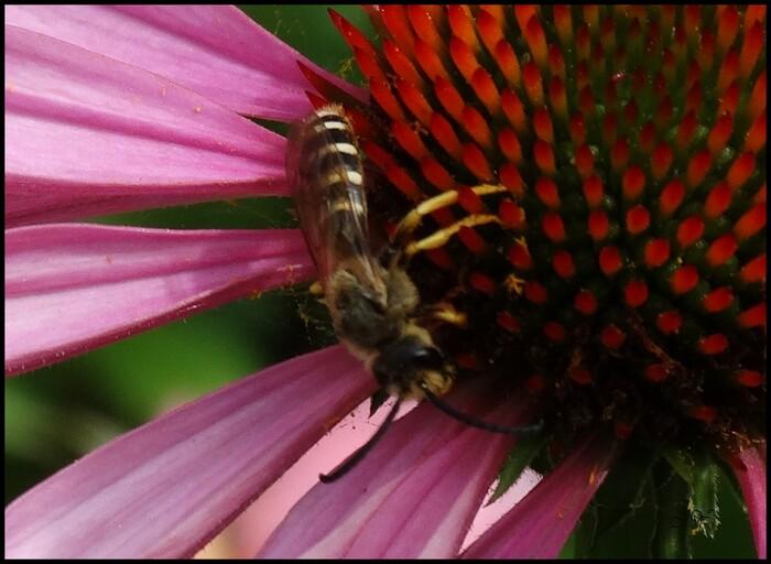 Halictidae.