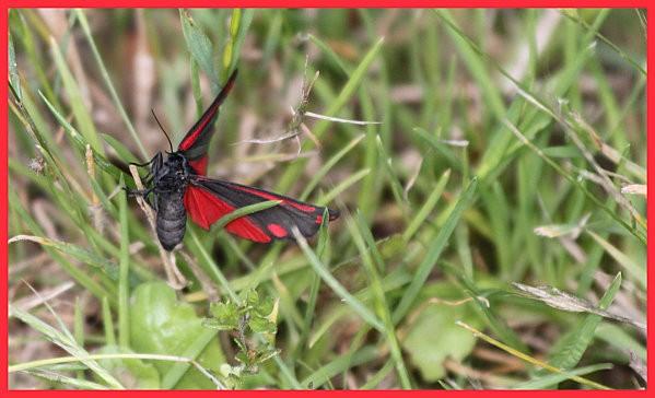 papillon rouge et noir3