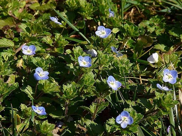 Gazon fleurs bleues