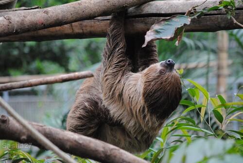 (2) Le paresseux à deux doigts.