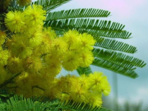 Mimosa-Fete-de-la-femme-en-Italie.jpg