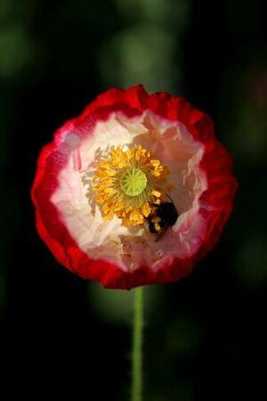 Des compagnes pour mes roses : Papaver rhoeas