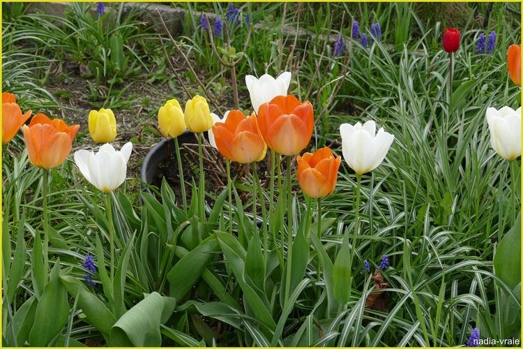 Les tulipes.