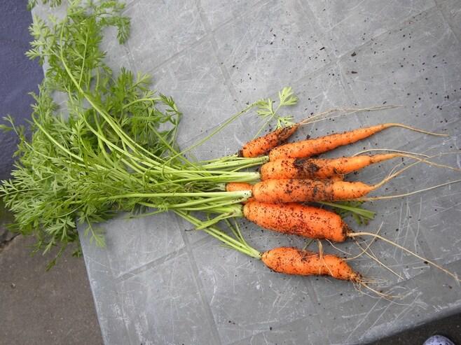 Récolte carottes et haricots fins