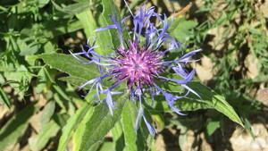 Centaurée des montagnes ou Bleuet vivace