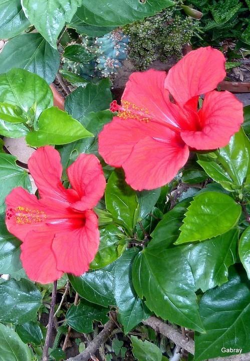 f01 - Fleurs d'hibiscus