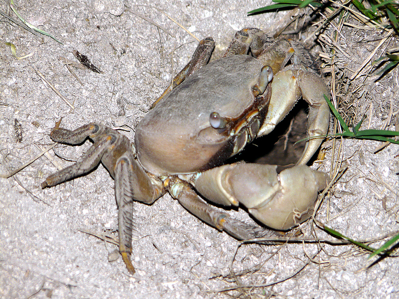 Crabe de terre - Moorea - Polynésie française
