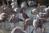 Flamand nain parmi les Flamants roses