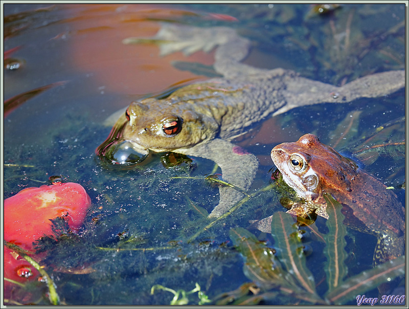 Petit à petit, des dizaines de crapauds communs, dont d'énormes femelles, ont remplacé les grenouilles rousses - Lartigau - Milhas - 31