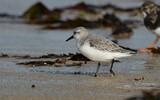 Bécasseau sanderling - p286