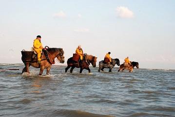 La pêche à la crevette à cheval en Flandres ...