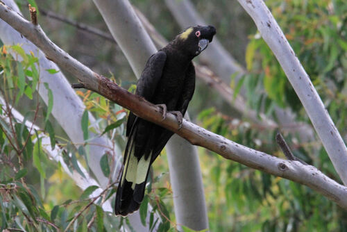 Cacatoès funèbre (Yellow-tailed Black Cockatoo) NSW Australie