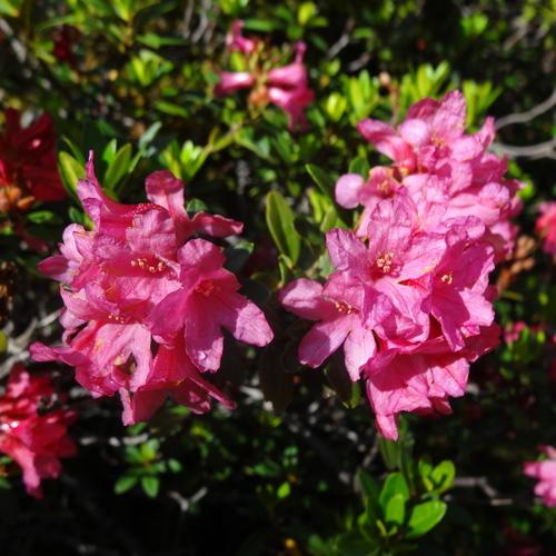 Détail des fleurs de rhododendron