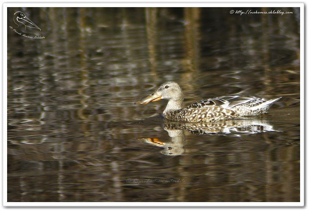 Canard souchet femelle - Anas clypeata