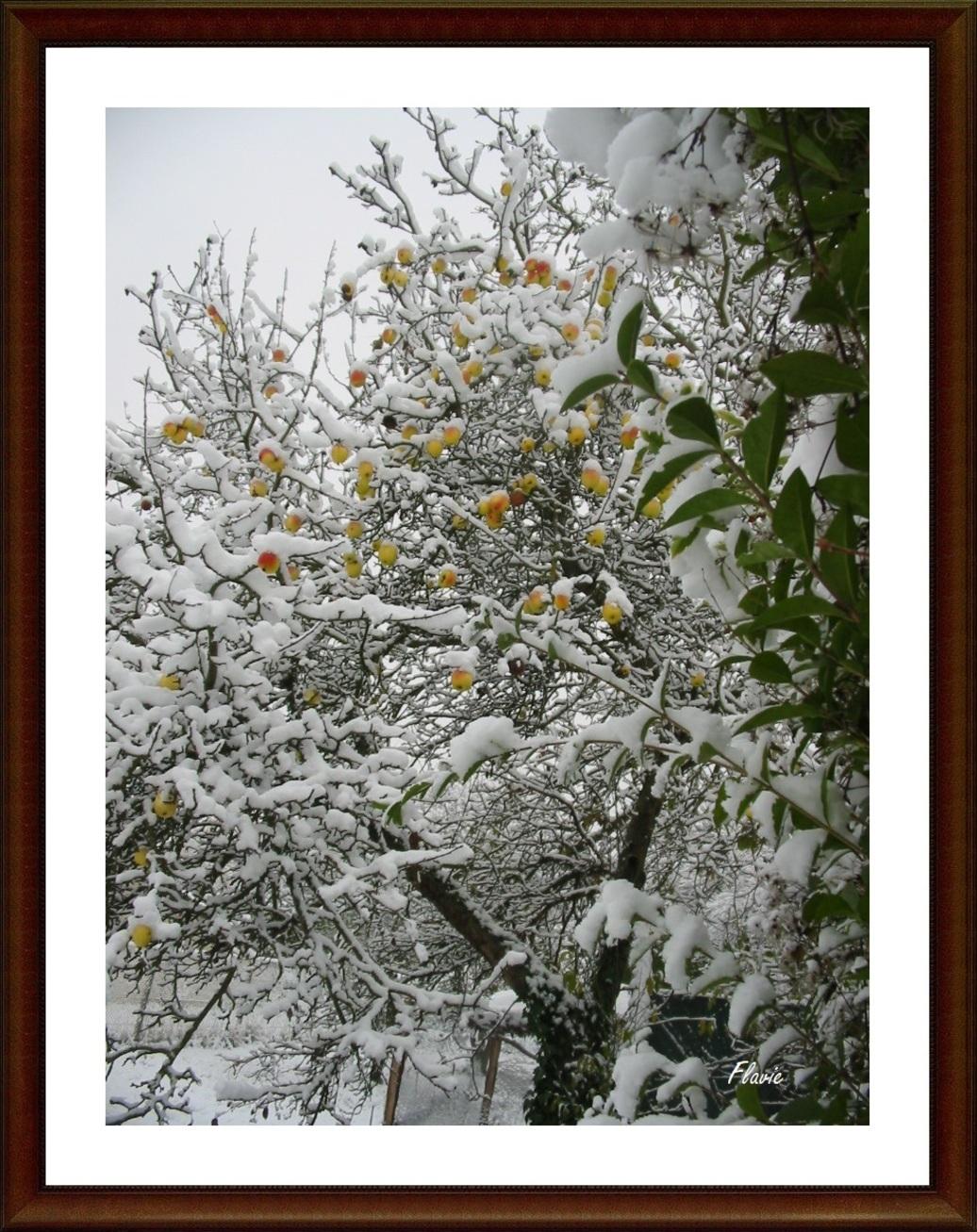 Un pommier sous la neige