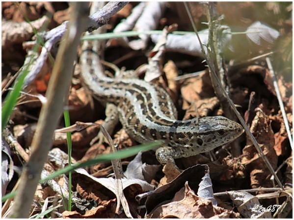 Reptiles-5537-Lezard-agile.jpg