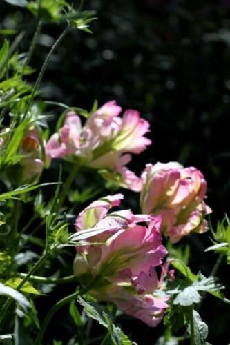 Tulipes-Greenwave.jpg