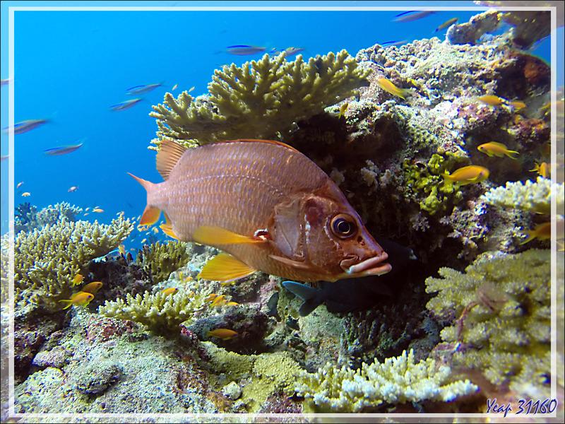 Poisson-écureuil à grande mâchoire, Marignan sabre, Soldat armé, Poisson-écureuil à épines, Sabre squirrelfish (Sargocentron spiniferum) - Moofushi - Atoll d'Ari - Maldives