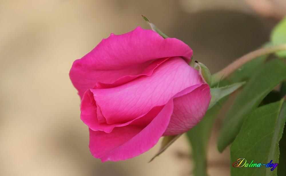 dernière rose!!!!!!