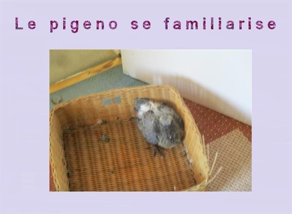 Des nouvelles de petit pigeon
