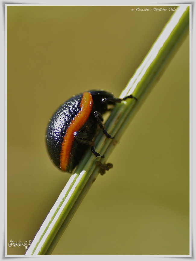 Chrysolina sanguinolenta