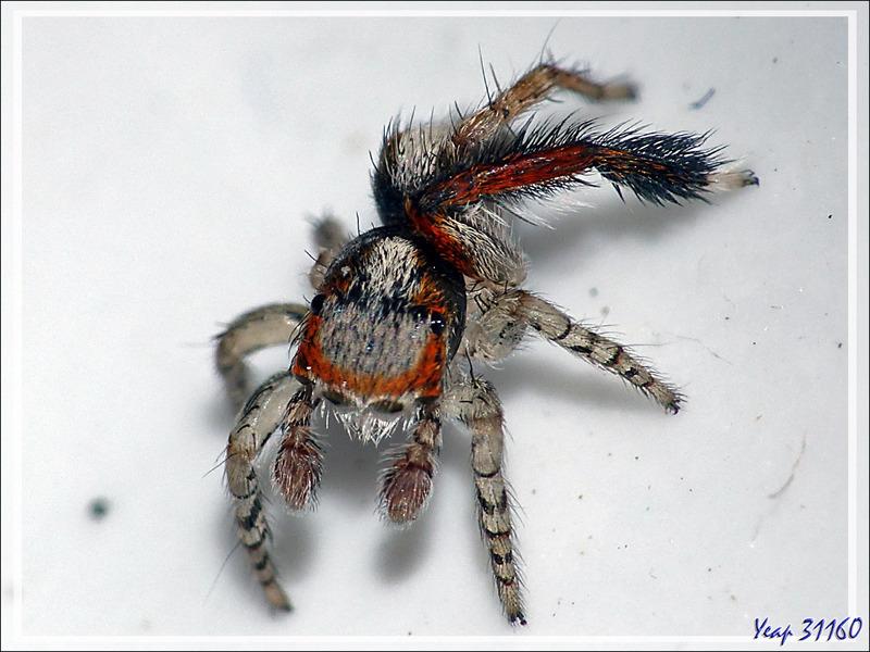"""Araignée sauteuse (saltique) """"Pied barbu"""" mâle (Saitis barbipes) - La Couarde-sur-Mer - Île de Ré - 17"""