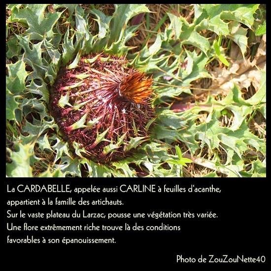 LOZERE-LA-CARDABELLE-OU-CARLINE-N--1.jpg