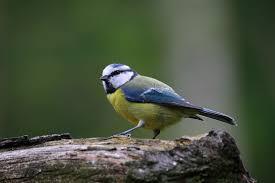 """Résultat de recherche d'images pour """"oiseaux des jardins"""""""