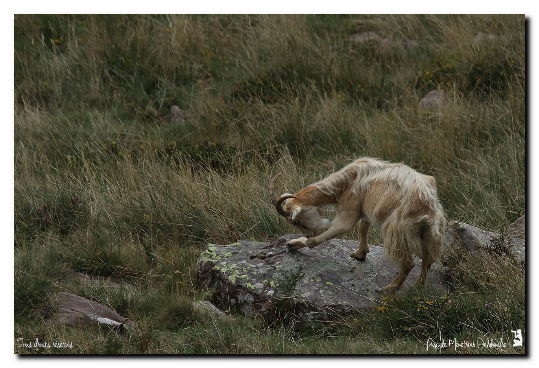 Chèvres sauvages dans les Pyrénées