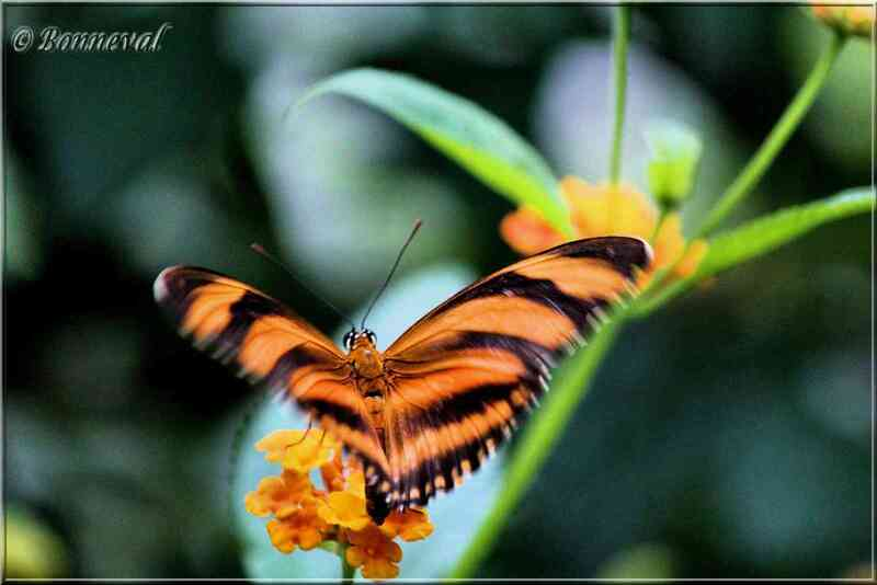 Papillons exotiques Dryadula phaetusa