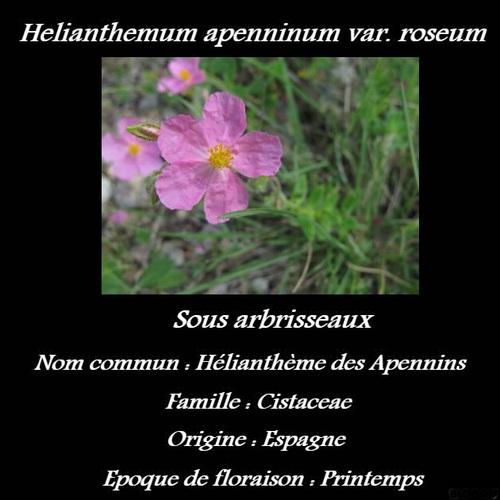 Helianthemum apenninum var. roseum