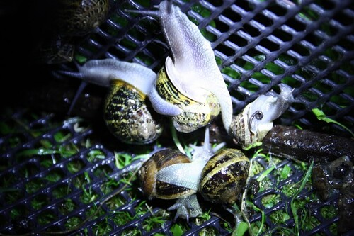 Cagouilles ou escargots