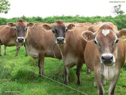 Elevage vaches
