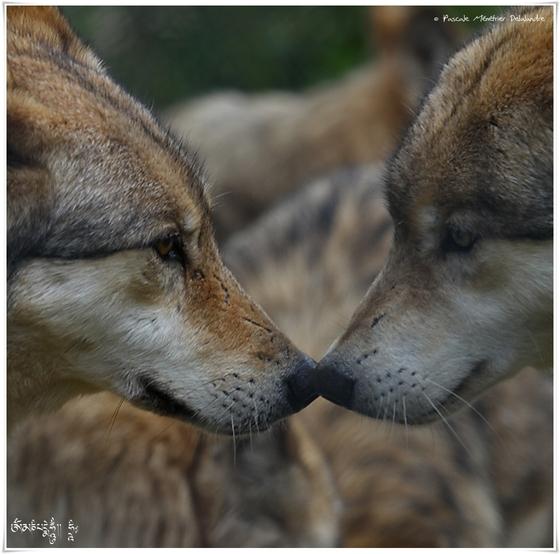 Loups de Sibérie (Canis lupus albus)